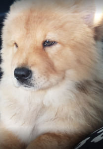 Purebred female chow chow puppy for sale