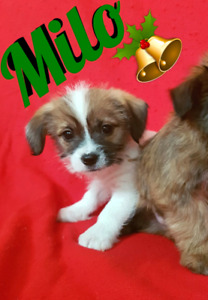 HES FOUND A HOME THANKS Tiny little shih tzu terrier puppies
