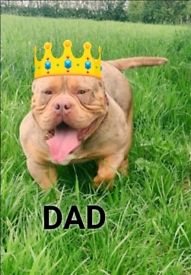 American pocket bully abkc pups for sale