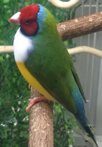 Young Gouldian finches split for blue.