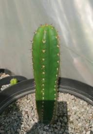 Cactus Trichocereus Peruvianus 20cm.