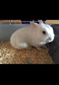 Dwarf rabbit 1 year old