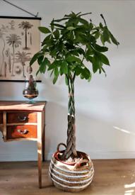 Giant Pachira aquatica Money tree houseplant indoor plant