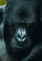 Stunning portrait print of a 'Mountain Gorilla'