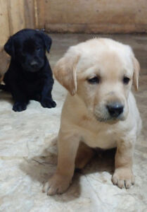 BEAUTIFUL YELLOW AND BLACK LAB PUPPIES