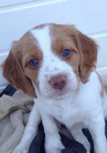 Brittany Spaniel puppies ( 6 puppies remaining)