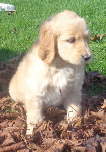 Golden Retriever - Yellow Labrador Mix Puppies Goldador