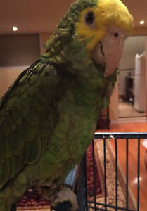 Double Yellow Headed Amazon Parrot for sale!