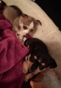 Chihuahuas looking for a new home