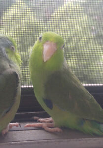 Green Male Parrotlet