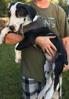 Purebred Great Dane Puppies PRICED REDUCED!