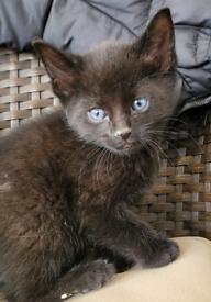 Beautiful British shorthair x oriental kittens ready now