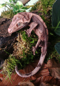 Taxidermy Crested Gecko Display