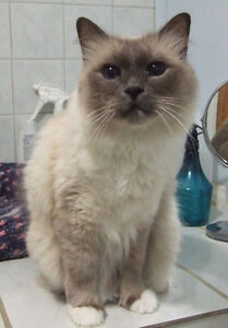 Birman boy looking for forever home.