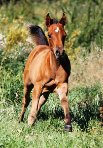 Tall, Athletic Endurance/Trail/WP Prospect 2014 Arabian Colt