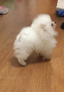 Teenie Tiny  Registered White Pomeranian Male Puppy for sale