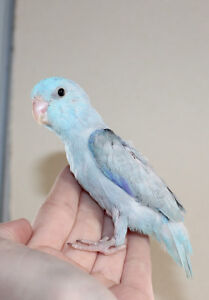 Baby Conures & Parrotlets (Greens, Blues, Yellows)