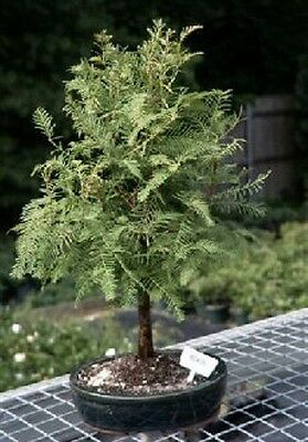 Outdoor Bonsai Tree - Dawn Redwood Bonsai Tree (metasequoia glyptostroboides) 8 yrs 13