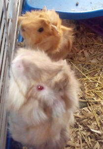 GPS (Guinea Pig Sanctuary) WE NEED FOREVER HOMES! *special offer