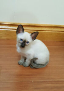 1 REGISTERED PUREBRED CLASSIC SIAMESE KITTEN STILL AVAILABLE