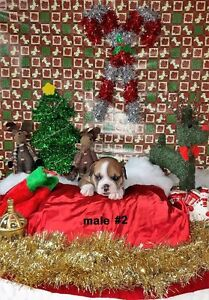 Purebred English Bulldog Puppies - Just In Time For Christmas! London Ontario image 2