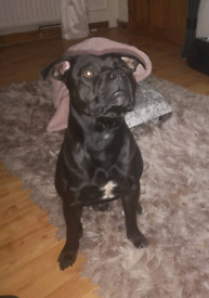 2 yr old staffy no papers