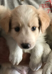 BORDER COLLIE  REGISTERED 3 AVAILABLE MALE  PUPPIES