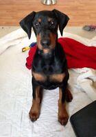 C.K.C Registered Doberman Puppy