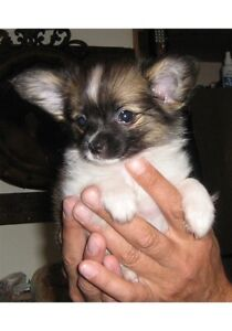 Papillon puppies looking for new homes!