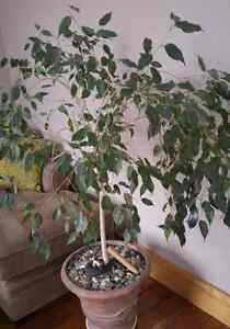 Ficus Tree in Ceramic Pot