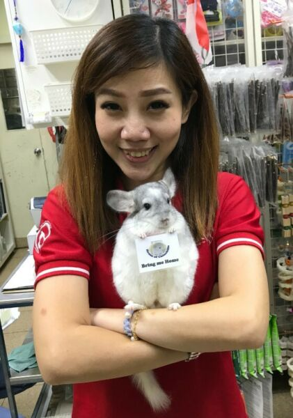 We have many friendly, healthy and well trained chinchillas for sale (HOC)