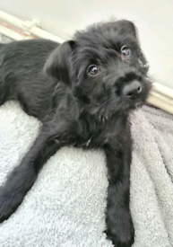 Patterdale X Bedlington Puppies for sale **TWO girls left only**