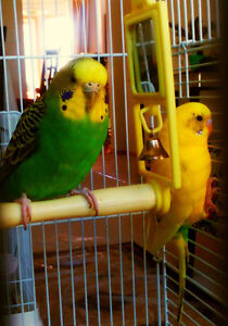 Birds: 2 budgies+cage (worth $190) for sale $80 OBO moving sale