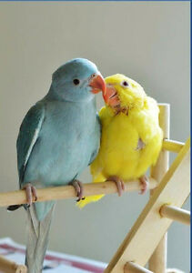 ❤♥☆♥ Indian Ringneck ♥ Babies with Cage and Food ♥☆♥❤