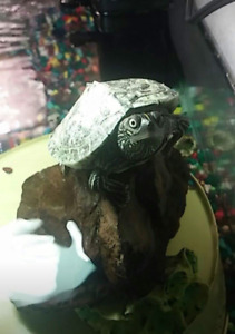 Adult male mississippi map turtle