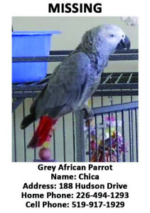 MISSING PARROT - AFRICAN GREY - CHATHAM, ONTARIO - THE LANDINGS