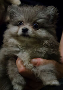 Adorable Pomeranian Puppies Ready for a Home