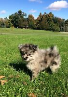 8 week old Pomeranian male puppy very rare colour!