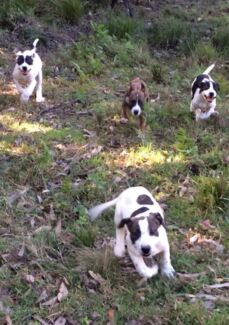 Bull Arab x Bully/Staghound Pups. Morisset Lake Macquarie Area Preview