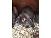 Giant chocolate French lop