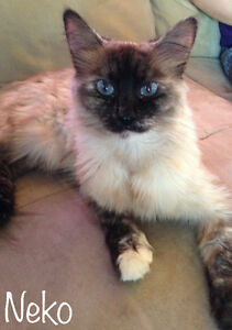 Snowshoe Siamese Cross with Ragdoll