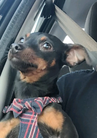 Mini Pinscher Girl 18 months old Stunning