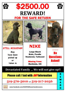 Lost Standard Poodle - Reward for Safe Return