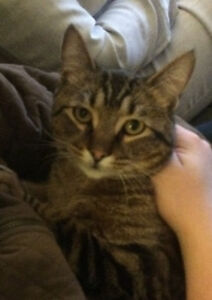 """""""Gilly"""" Male brown tabby lost in Gyro Pk area April 23/17"""