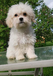 Beautiful purebred teacup poodle puppies