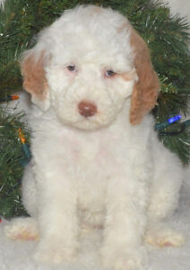 Registered Red/white parti Moyen (smaller standard) Poodle pups