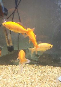 5 Goldfish looking for a good home.