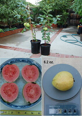 RED FLESH GUAVA FRUIT SEEDS, 50 SEEDS,  on Rummage