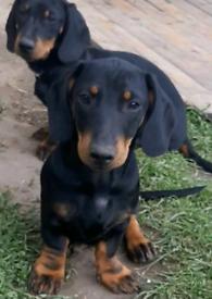 Standard dachshunds