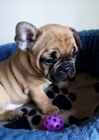 French bulldog puppies, KC registered